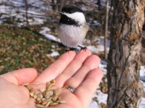 Feeding Chickadees