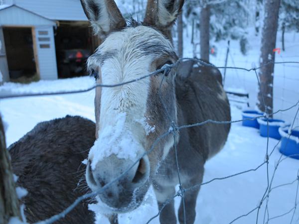 Snowy Morning Donkeys1