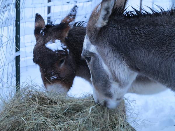 Snowy Morning Donkeys2