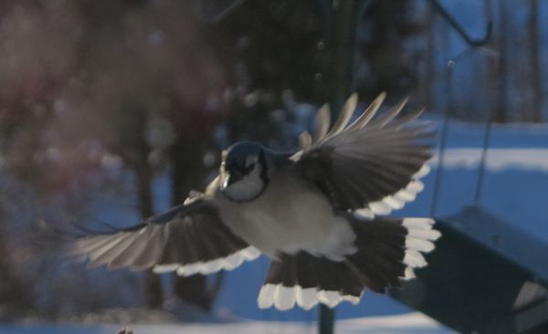 Meadow Jays009