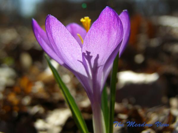 Spring smiles in crocus blooms.
