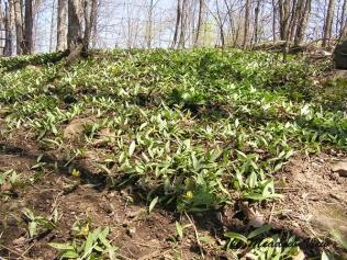 A hillside of dog toothed violets.