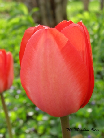 As soft as a tulip