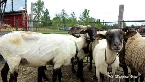 Sheep Shearing Demonstration