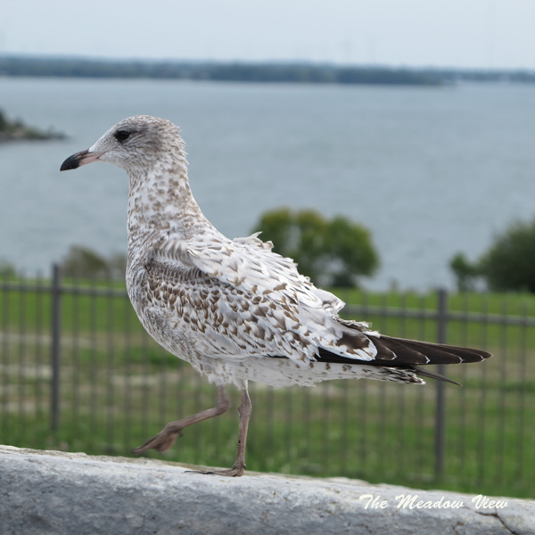 We had lunch with this seagull at Fort Henry.