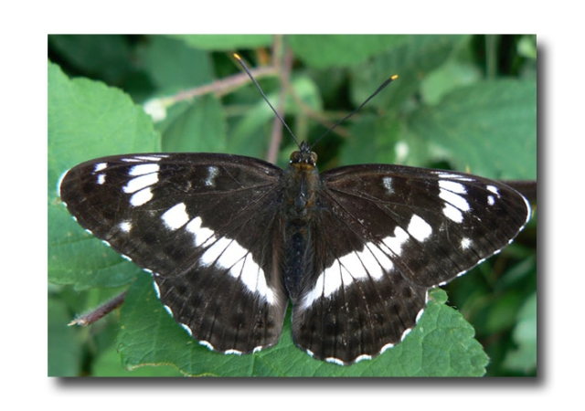 white admiral butterfly01