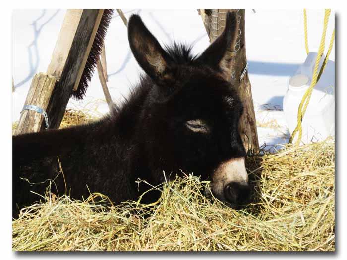 Bella cozied up in her hay bed