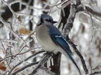 Blue Jays are daily friends here