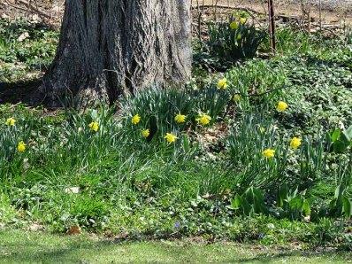 Daffy Garden Blooms