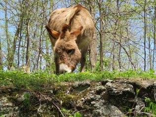 Mountain climbing donkey.