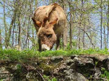 Mountain climbing donkey.
