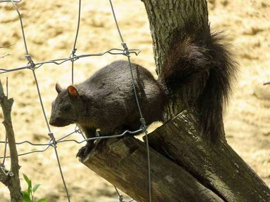 The squirrel is not so fond of the new sandy paddock.