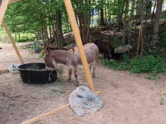 It has been so hot that the donkeys appreciate their food being delivered to the shade.