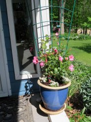 This summer's mandevilla vine.