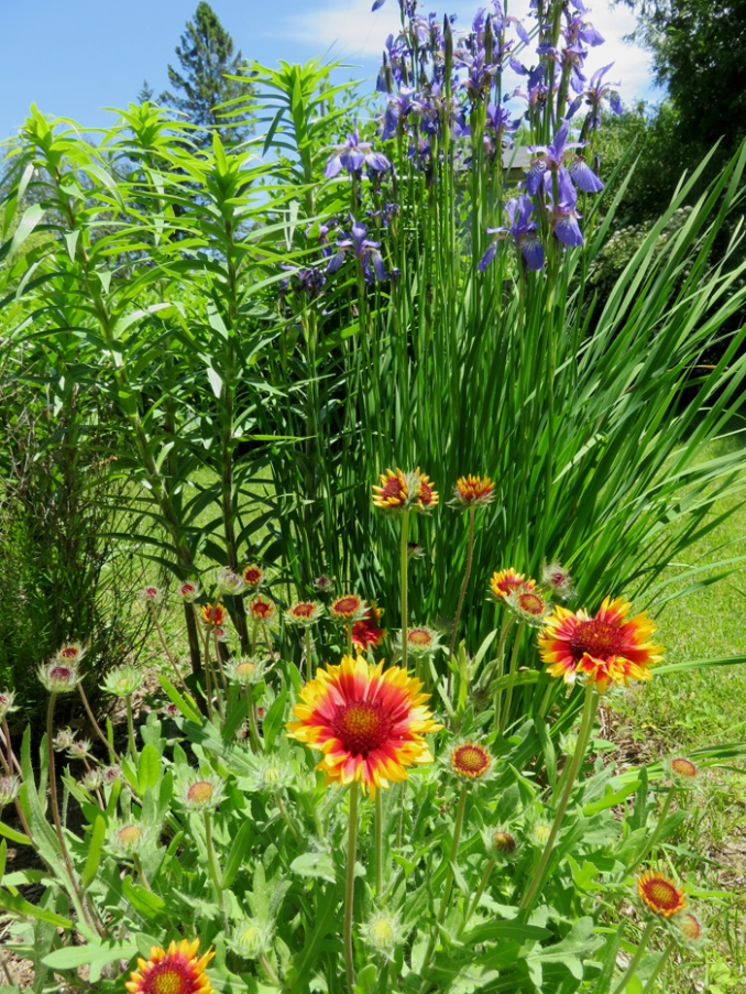 The blanket flowers survived the winter.