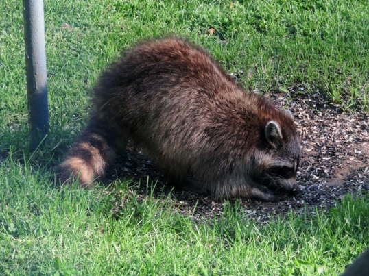 Hmmm ... Mother Raccoon has taken up dropping by for dinner.