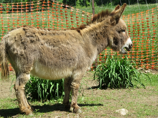 Rosie is such a patchy shedder. She is the Velveteen Donkey!