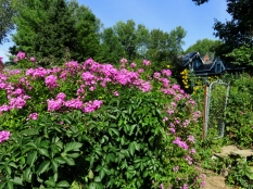 The phlox blooming in the front paddock.