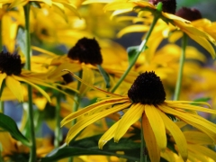 Black-Eyed Susans feeling relieved!