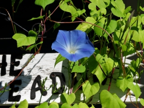 ALWAYS hope to grow Morning Glories!