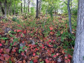 The Virginia Creeper in the woods.