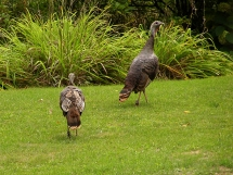 Front yard turkey trot!