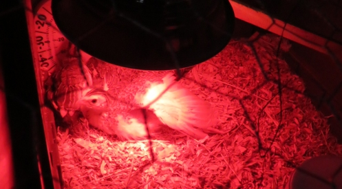 Welcoming the red heat lamp.