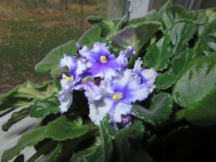 Bloom on violets!