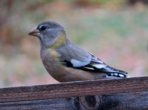 Fall storms bring Evening Grosbeaks.