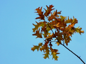 Golden oak leaves