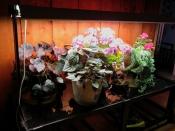 Geraniums loving their winter quarters