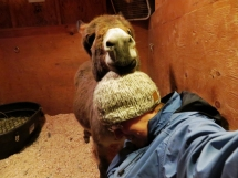 Donkey head rest
