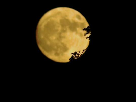 Moon behind cedars