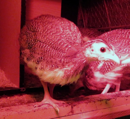 Looking beady eyed in the red heat lamp glow.