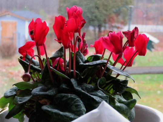 Cyclamen on the kitchen table.