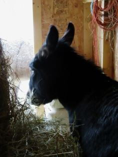 Bella tucked into the hay barn - out of the wind.