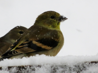 Goldfinches busy eating as much as they can to stay warm.