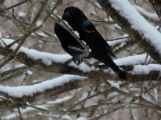 Always feel sorry for the last Red-Winged Blackbirds