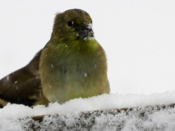Goldfinch snowy face