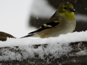 Goldfinch antics