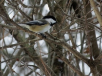 Chickadees are hard to catch for a shot!