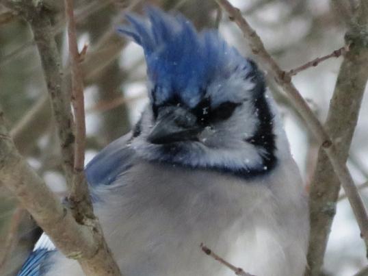 Blue Jay Portraits
