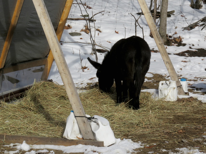I 'thought' this would make a good hay bed. But turned out it was also delicious to eat!