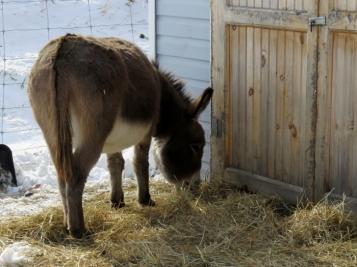 Rosie always on the lookout for grain at the barn door.