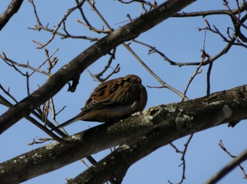 Morning Dove snoozing in the hickory tree.