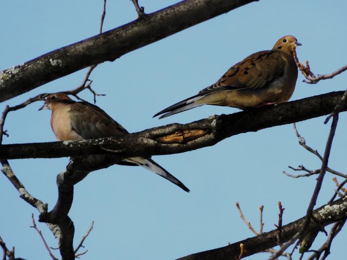 Sunning Morning Doves