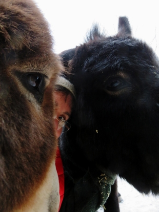 Two donkeys hug at once