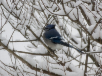 Jay in the snow covered lilac
