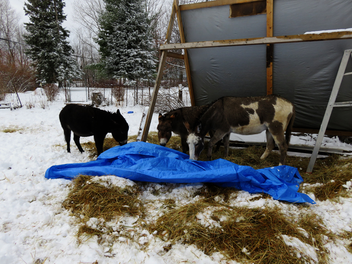 Looks like these three might actually have fun playing with a tarp! Just not this one!