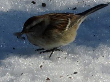 Sparrow hopping on the ice